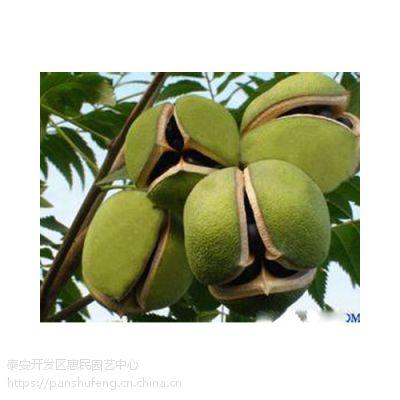 山东泰安文冠果树苗基地 可炼油的 可药用的文冠果树苗批发价格