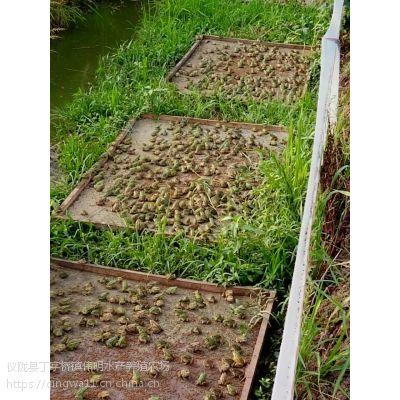 四川生态青蛙养殖大量青蛙黑斑蛙批发供应