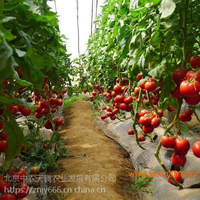 新品种中农五号-大果型番茄种子