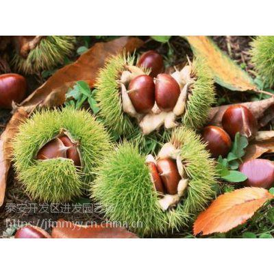 进发苗木园艺场供应华光板栗树苗 品种纯正 成活率高