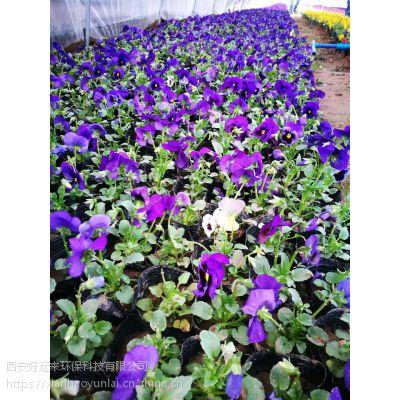 西安早春绿化草花供应,三色堇、雏菊出售