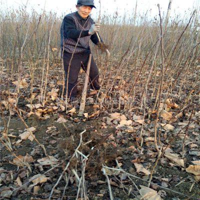 大金星山楂苗价格 甜红子山楂苗新品种