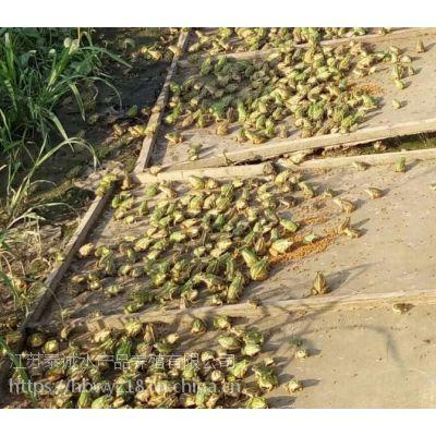 南通青蛙养殖 南通青蛙批发 青蛙种苗 青蛙蝌蚪 18912095228
