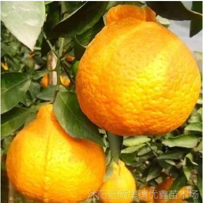 柑橘果树苗嫁接苗不知火柑橘苗丑橘苗丑柑桔苗丑桔树苗丑八怪橘子