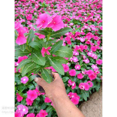 花坛花卉常见种类有哪些?