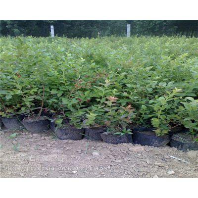 供应基地内新品种夏普蓝蓝莓苗 产量 报价