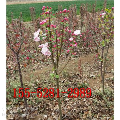 8公分西府海棠价格155-5281-2989
