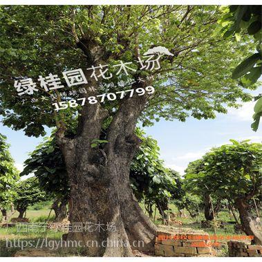 南宁绿桂园花木场 乔木 南宁粉花山扁豆 景观树 苗木