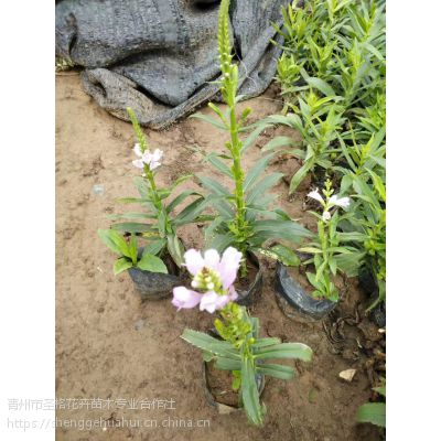 青州市假龙头种植基地