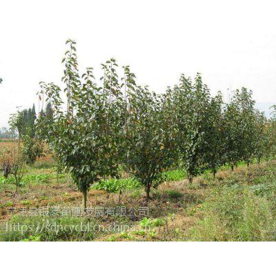 黄金梨属蔷薇科落叶乔木,山东省宁津县银泰苗圃种植的黄金梨树是果树和绿化的,