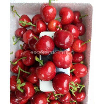 大樱桃苗品种 1公分美国一号樱桃苗价格