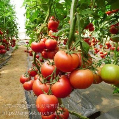新荷兰巨粉-高产早熟番茄种子