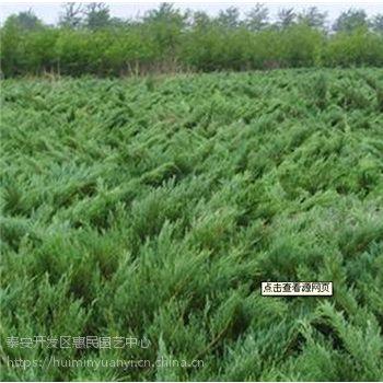 山东泰安0.5-5米高龙柏绿化苗销售中心 种植基地 规格齐全 价格便宜