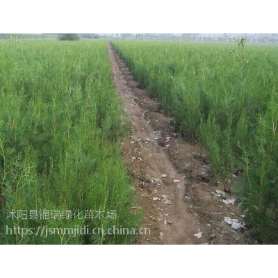 哪里卖侧柏便宜 江苏0.5米-3.5米高侧柏树苗价格便宜卖