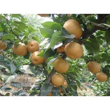 黄冠梨苗成苗批发价格 1公分黄冠梨苗多少钱一颗