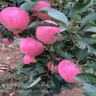 红富士苹果苗匍匐茎