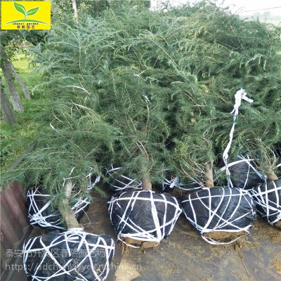 山东3米雪松 5-9米雪松供应基地 树形优美 规格齐全 圣诞树 优质雪松供应