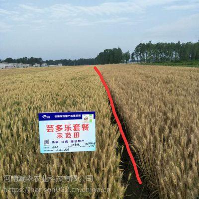 小麦增产 芸多乐防病 抗病产量高