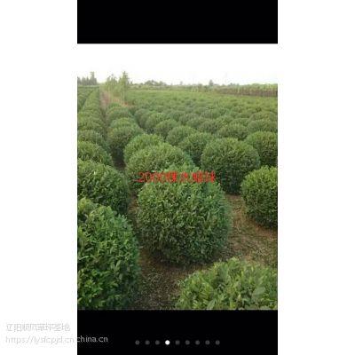 顺风草坪基地出售早熟禾草坪绿化苗木铺栽技术绿化强抗病强耐踩踏
