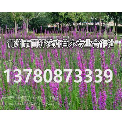 山东青州市千屈菜幼苗价格优惠,青州百轩花卉苗木
