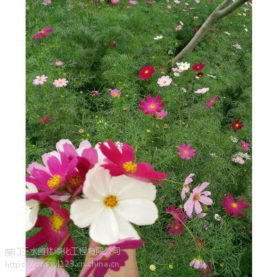三水园林供应一二年生花卉园林景观花种波斯菊进口花籽批发