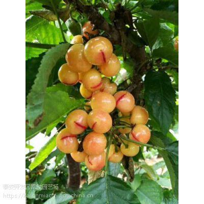 矮化一线红樱桃苗单价 山东一线红樱桃苗价格