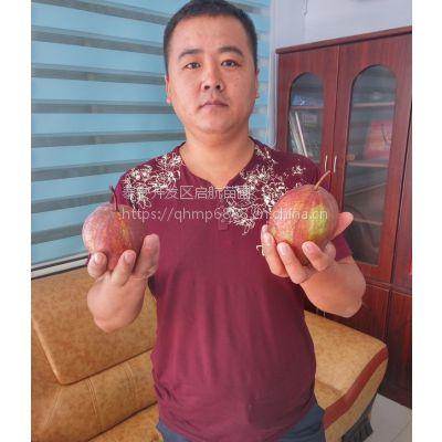 2公分梨树 2公分梨树成苗价格