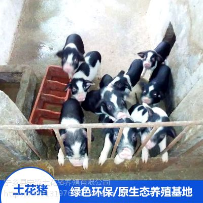 流沙河宁乡土花猪养殖园土花猪宝宝精排瘦肉价格合理