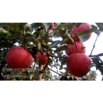 可密植性的 矮化的 可盆栽的柱状苹果树苗批发价格