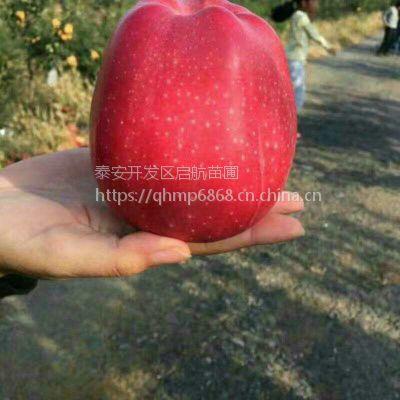 50厘米高鲁丽苹果苗价格,哪里有苹果实生苗