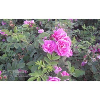 四季玫瑰基地,河北四季玫瑰批发价格