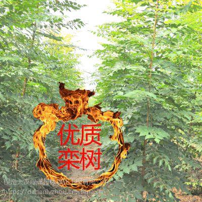 保定大汉绿洲出售优质10公分栾树树苗