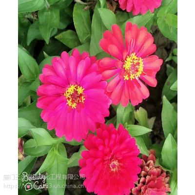 四川三水园林供应各类草花种子成都哪里有卖矢车菊花籽的?