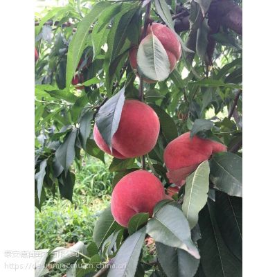 春晓桃树苗价格、2公分春晓桃树苗基地