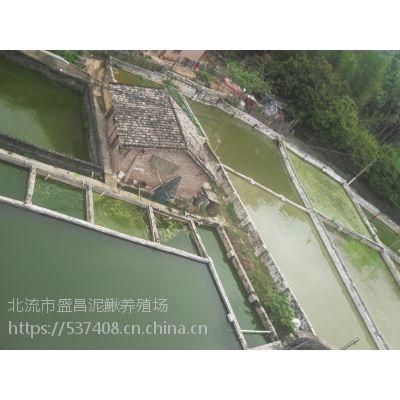 比台湾泥鳅更具前景杂交泥鳅苗