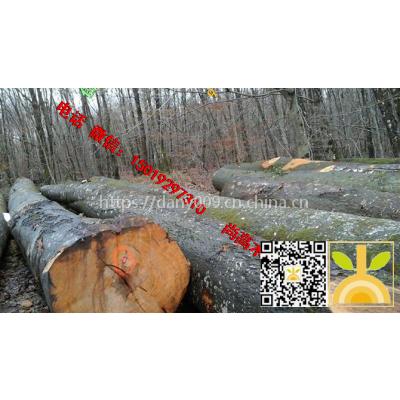尚高木业供应卢森堡大径榉木原木,质量A级材木色纹理硬度优