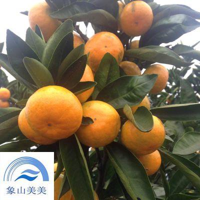 特早熟柑桔新品种,由良蜜桔,丰产性好,果实高糖,耐贮藏