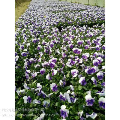 西安草花花卉基地