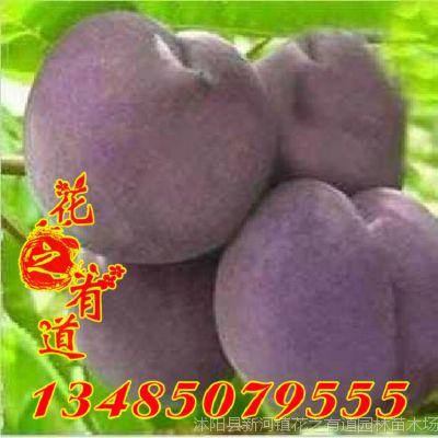 桃树 果树苗 乌黑鸡肉桃 新品种桃树苗 黑肉桃黑桃苗 都是嫁接苗