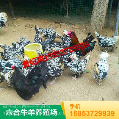 山东济宁 供应人工养殖杂食野鸡 华旺特种养殖场直销
