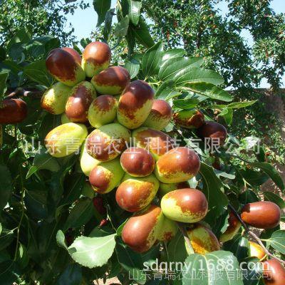 枣子树 沾化大冬枣树  果树嫁接枣树 南方北方种植 基地直销