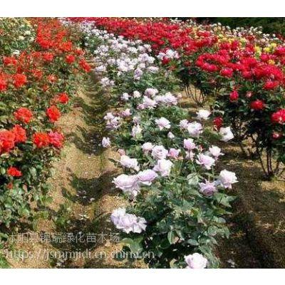 江苏月季花批发基地,出售绿化工程栽植的月季花