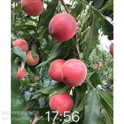 秋彤桃苗多少钱一颗 品种特点离核大果挂果时间长