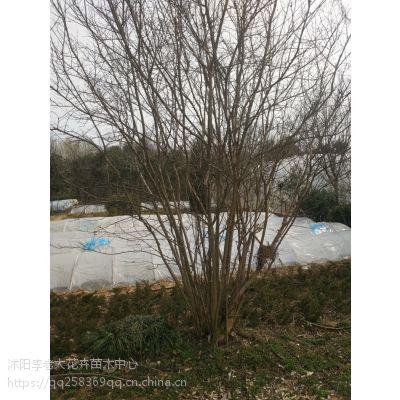 1.5米三分枝丛生腊梅价格江苏1.8米高五分枝丛生腊梅价格