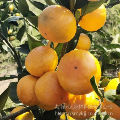 供应广西云南柑橘产地正宗由良蜜桔苗果园母本园柑橘苗木基地直销