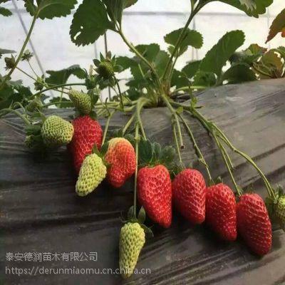 圣诞红草莓苗2019年新报价 圣诞红草莓苗春季报价