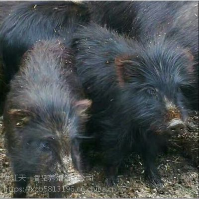 浙江诸暨市哪里有藏香猪养殖场