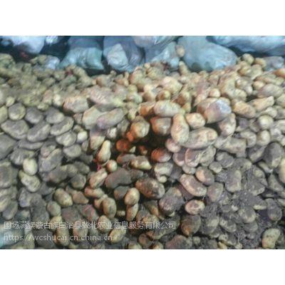 围场荷兰十五土豆出售价格行情咨询15512361144
