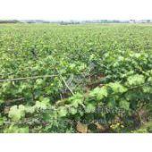 泸州葡萄苗专业厂家供应 优质葡萄苗价格低廉品质优