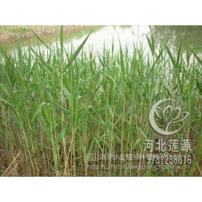 种植芦苇,芦苇苗供应,北京芦苇苗,芦苇基地